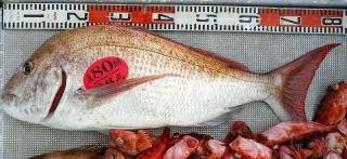 鯛 釣果 20160204
